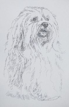"""An original Havanese lithograph from Stephen Kline. The entire drawing is done from the word """"Havanese"""""""