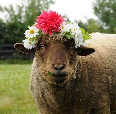 """""""Queen Petunia"""" for 2012, wearing her lovely floral head piece at Punkin's Patch at Equinox Farm in Cynthiana, Kentucky. """"Mom"""" Sara Dunham blogged: """"Not just any sheep would tolerate a bunch of flowers tied to her head, but I knew Petunia would think it was just fine."""""""