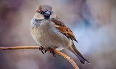 House sparrow life list #26