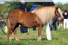 Shetland Pony - mare Metty's Venla