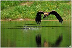 Aigle royal  (Aquila chrysaetos)    (Golden Eagle)