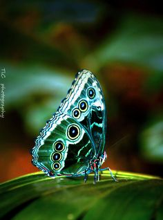 Butterfly with jewel-like markings and enhanced colour—simply stunning!