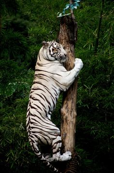 Climbing White Tiger (by Dean Croshere) :) #tigers #tigerlovers #animallovers #tigerfans