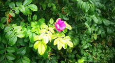 Sitka Rose. #Sitka #Alaska