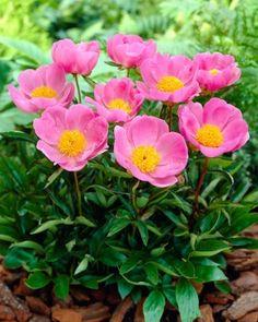 Kiinanpioni Nymph Height Grow, Paeonia Lactiflora, Nymph, Pretty Flowers, Light In The Dark, Bloom, Plants, Single Flowers, Gardening