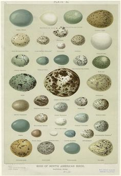 Eggs of North American Birds, natural sizes. From From Prints and photo-mechanical reproductions : duplicates of copyright deposits, received by exchange 1957, 1958, 1959. [s.n.]) Library of Congress. Prints and Photographs Division, Donor.