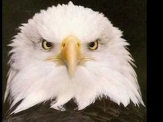 The Eagle Symbol of American Freedom