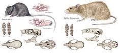 Image result for rattus rattus compared to rattus norvegicus