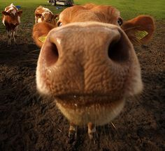 This Guernsey Cow is curious. Big Animals, Happy Animals, Farm Animals, Funny Animals, Cute Creatures, Beautiful Creatures, Guernsey Cow, Bailiwick Of Guernsey, Wild Animals Photography