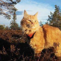 Jesperpus jesper the ginger Norwegian Cat He's an adventurous cat throughout the year!