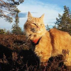 Jesperpus jesper the ginger Norwegian Cat He's an adventurous cat throughout the year!