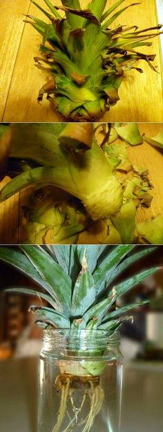 Growing a Pineapple in Water From a Pineapple Top - 101 Gardening