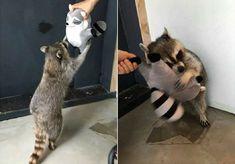 Lovely・・・ #racoon #trash panda #animal #cute