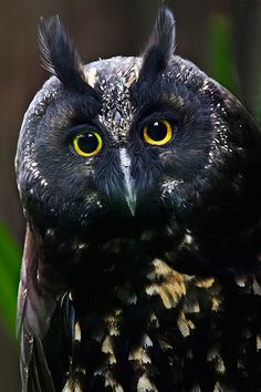 Black Owl Pinned by www.myowlbarn.com