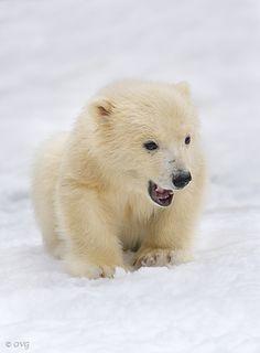 Are you scared? - Close up portrait of a polar bear cub on snow. Grizzly Bear Cub, Baby Bear Cub, We Bear, Bear Cubs, Wildlife Photography, Animal Photography, Arctic Polar Bears, Baby Animals, Cute Animals
