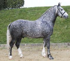Silver Wind Twister, grey Irish Draught stallion. (source)