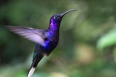 I would love to see a purple humming bird!