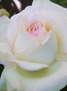 Bride's Dream Rose - pure loveliness!