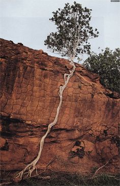 Tree sends its roots down a cliff to find the ground                                                                                                                                                                                 More