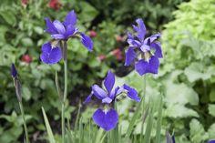 irises Hope Images, Irises, Bracelets, Artwork, Plants, Work Of Art, Auguste Rodin Artwork, Iris, Bracelet