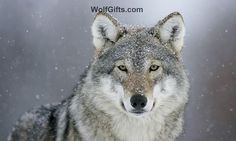 Visit WolfGifts.com for more cool wolf photos. Macho Alfa, Poster Pictures, Funny Pictures, Amazing Pictures, Facts About Wolves, Tier Wolf, Wolf Population, Of Wolf And Man, Canis Lupus