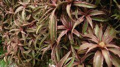 Earth Star (Cryptanthus bivittatus)