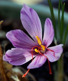 Saffron is obtained from the saffron crocus, a flower that has lilac coloured petals..... all about saffron