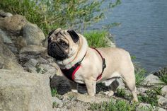 Hmmm..... don't tell me we're going home already, it's so nice here  #mauricethepug #spring #sunnyday #greateday #pug #mops #dog #puppy #river #water #mures #ilovemytown #tirgumures