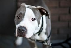 Pit bulls are adorable!