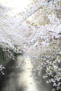 Blossoming tree : Inspiration Lane