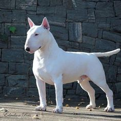 get BULL Terrier free stickers Best Dog Breeds, Best Dogs, Chien Bull Terrier, Fox Terrier, Dog Logo Design, Dog Quotes Love, Bully Dog, Pet News, English Bull Terriers