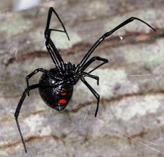 Put some in a squirt bottle with water and spray in areas spiders tend to hide garages, door frames, house plants and closets. Pet Spider, Spider Lamp, How To Deter Mice, Black Widow Spider, Spider Tattoo, Fotografia Macro, Insect Bites, Bugs And Insects, Massage Oil