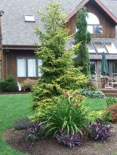 conifers in the backyard