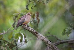Mournimg Dove | by Macomb Paynes
