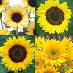 Sunflower Sunrich Collection – Harris Seeds - Gold, Lemon, Orange, and Summer Limoncello All Flowers, Beautiful Flowers, Yellow Flowering Plants, Light Bulb Plant, Colored Light Bulbs, Garden Oasis, Fall Cards, Sunflower Seeds, Types Of Plants