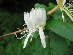 Suikazura (japanese name) /  Lonicera japonica (scientific name)