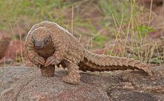 This is the African Pangolin (still alive today). Its front claws are too big to walk on and are used primarily for digging for insects. It looks like a dinosaur!! by amie
