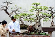 vietnamese bonsai #bonsai
