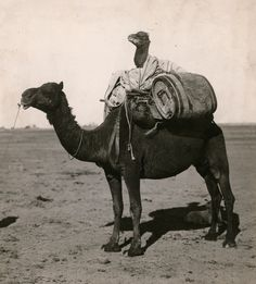 A young camel rides between packs on a camel's back in Western Australia, 1916.