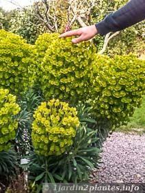 Les fleurs de cette euphorbe chariacas sont énormes mesurant plus de 20 centimètres de diamètre