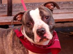RIP COBI***DESTROYED 11/27/13 Manhattan Center COBI   #A0985726  Male bl brindle and white pit bull mix. OWNER SUR on 11/22/2013 ~ JUST A BABY @ 1 YEAR !!! House trained, likes kids, sociable. He meets other dogs in a very civil way. He sits on command and enjoys petting. He does have guarding issued with food/bone/toys - retrainable!   He is a sweet dog and I hope that soon enough, he will find his way to a loving forever home.