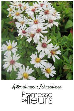Aster nain d'automne, vivace au port compact en forme de coussin ayant des fleurs blanches à cœur jaune comme celles des marguerites s'épanouissant entre août et octobre.
