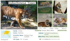 indochinese tijger