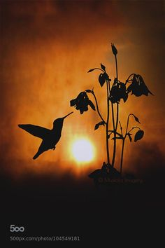 hummingbird in silhouette in setting sun - stunning nature photography Beautiful Sunset, Beautiful Birds, Beautiful World, Jolie Photo, Beautiful Creatures, Pet Birds, Small Birds, Silhouettes, Nature Photography