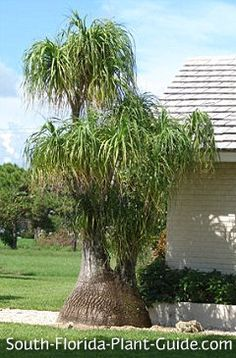 Cute, whimsical, weird and unique describe the ponytail palm - not actually a palm at all, but a succulent palm-like relative of the yucca. Read all about it!