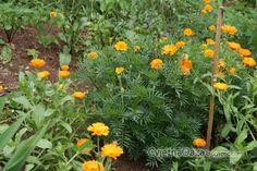 Dobre i loše komšije u bio-povrtnjaku | Cvjetna Oaza - Sve o cvijecu