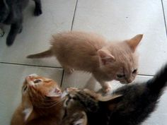 These noisy 7 week old fostered kittens waiting on their dinner being prepared. They had been ill with cat flu and were just starting to get their appetite back.