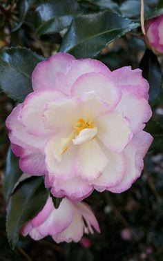 Camellia sasanqua 'Leslie Ann'