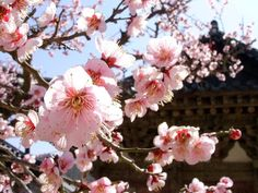 Apricot blossoms at Tongdo Temple by Tala, South Korea Apricot Blossom, Sakura Cherry Blossom, Cherry Blossoms, Simply Beautiful, Beautiful Places, Traveling Gnome, The Rok, Spring Blossom