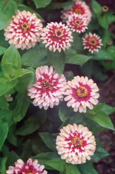 Blooms are 3 inches across and fully double. Each petal is a bi-color of cherry and ivory. Plants are bushy and vigorous in the garden. Grows 10 to 12 inches tall. 10 seeds